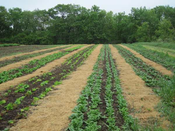Farley Center field with spinach and lettuce