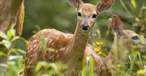 e-deer2